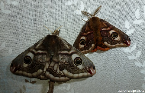 Petits paons de nuit- Saturnia pavonia-Naissance-Birth of butterflies and moths - 11 avril 2013 (71)
