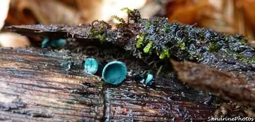 Pézize turquoise, Chlorosplenium bleu-vert, Champignons, Ascomycètes, Mushrooms, Bouresse, Vienne 86, Poitou-Charentes-Forêt Bois de Nablan