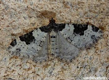 phalène ondée l`incertaine xanthorhoe fluctuata papillons sandrinephotos