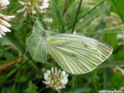 Pieris napi Piéride du navet Papillon blanc 19 juin 2012 Bouresse Poitou-Charentes (1)