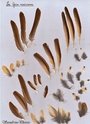 Plumes de grive musicienne, Turdus philomelos, Song Thrush Feathers, oiseaux, Passereaux, Birds, Bouresse, Poitou-Charentes, Nature in France(1)