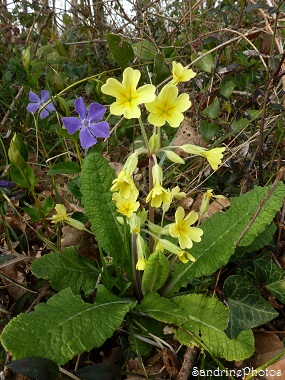 Primevère élevée, primula elatior, Fleurs sauvages du Poitou-Charentes, Bouresse, Wild flowers of France, 5 avril 2013 (2)