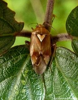 Punaise des prés, Lygus pratensis, Miridae, Insectes hémiptères - Common meadow bug- Insects hemiptera-Chemin de l`écorcherie-Bouresse Poitou-Charentes