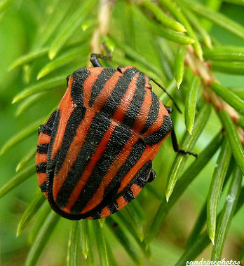 punaise rayée rouge et noir Pentatome rayé Graphosoma italicum