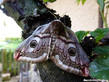 Saturnia pavonia femelle - Naissance de Petits paons de nuit- Birth of moths and butterflies-2ème jour- Bouresse-Poitou-Charentes-12 avril 2013 (6)