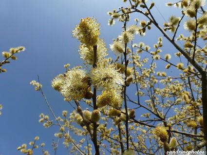 Saule Marsault Salix Caprea Arbres et arbustes