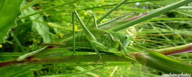 sauterelle Orthoptères Insectes du Poitou-Charentes Bouresse