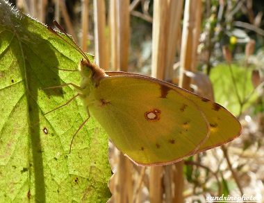 Souci, Colias crocea, Papillon de jour, Yellow day-flying butterfly, Bouresse Poitou-Charentes