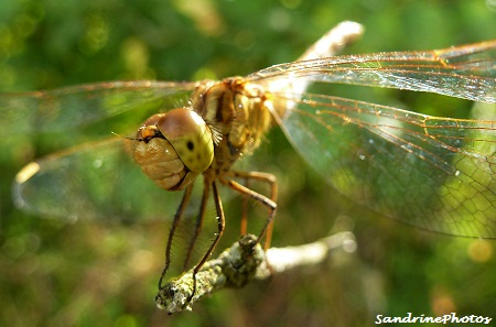 Sourire d`une libellule, libellulidae, Insectes, The smile of a Dragonfly, Insects, Bouresse, Poitou-Charentes 2012