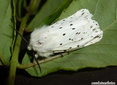 Spilosoma lubricipeda l`écaille tigrée Papillons de nuit Bouresse Poitou-Charentes