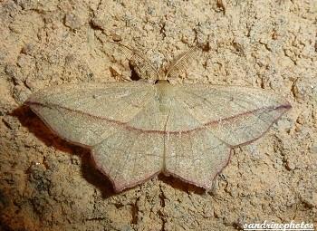 Timandra Comae, Timandre aimée Geometridae, Papillon de nuit, Moth, Bouresse, poitou-Charentes, France
