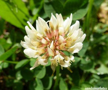trèfle blanc Trifolium repens Trèfle rampant Poitou-Charentes